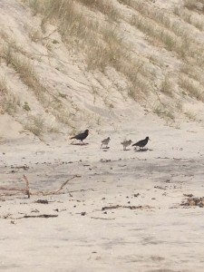All for a good cause – save the birds – like these oyster catchers who popped by to show their chicks the sandcastles